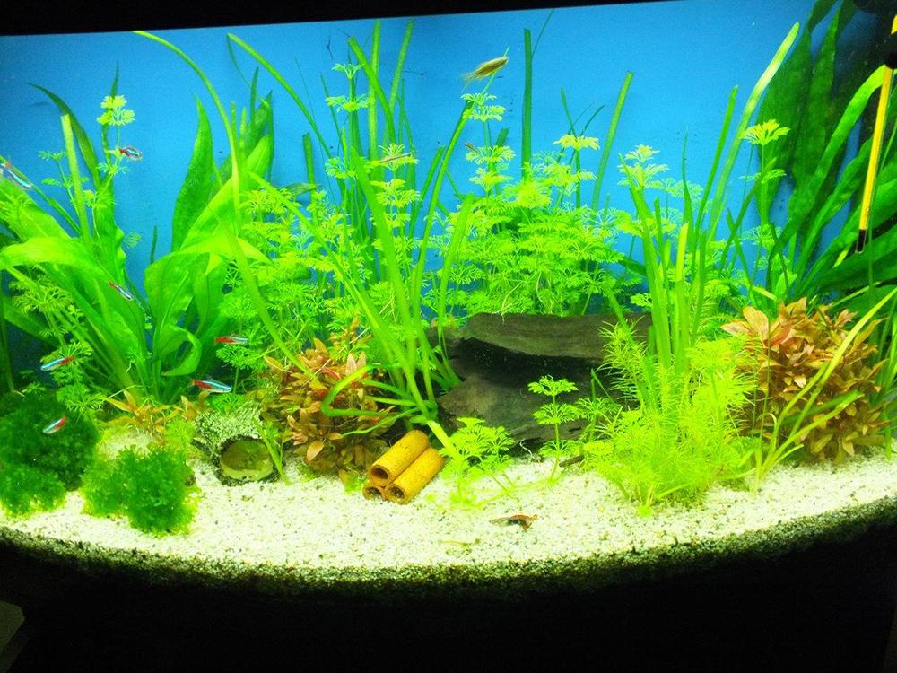 Pinselalgen Im Aquarium Entfernen