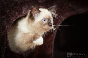 Ragdoll-Katze